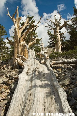 Along the Bristlecone Pine Trail in Great Basin National Park