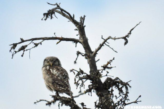northern Hawk Owl spent the night in our camp