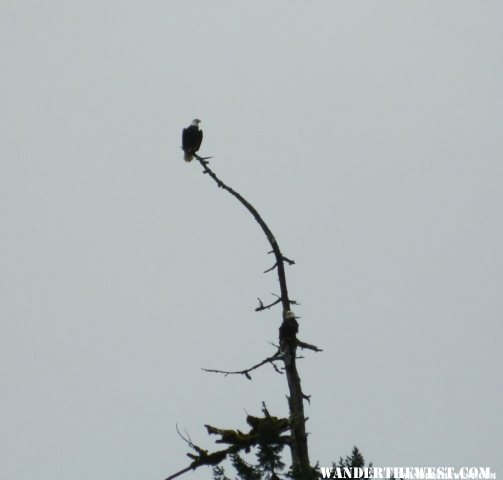 Bald Eagles in Hoh River Campground