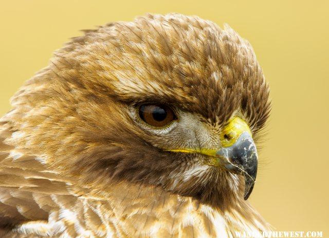 Redtail Hawk close up portrait