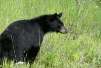 Cassier Black Bear.JPG