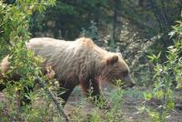 Alcan Grizzly.JPG