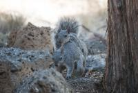 Gray-Squirrels-4443-2.jpg