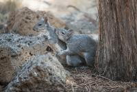 Gray-Squirrels-4439-2.jpg