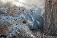 Gray-Squirrels-4437-2.jpg