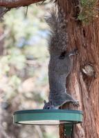 Western-Gray-Squirrel-June-1.jpg