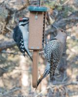Woodpeckers-suet_20180120-1.JPG